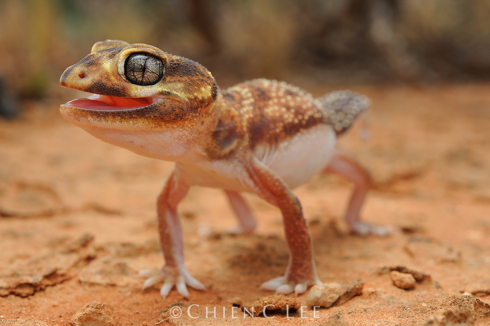 When threatened, the Knob-tailed Gecko (Nephrurus levis) raises its body off the ground to appear larger in size. Western Australia.