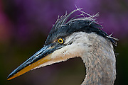 Detail shot of the blue heron found in the courtyard of the Bee Hive Homes senior community in Coeur d'Alene..