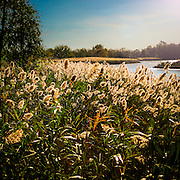 Foxtails In Sunset