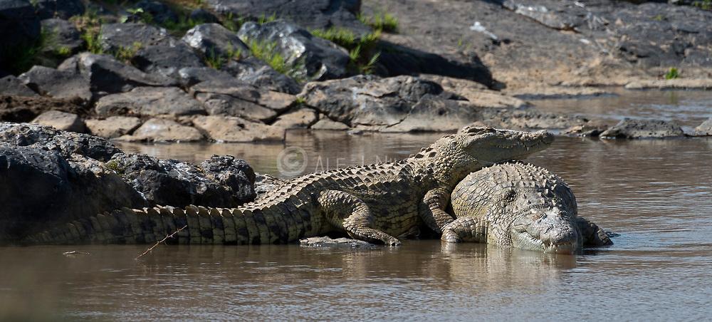 Two gigantic Nile Crocodiles (Crocodylus niloticus) on the banks of Mara River, Kenya.