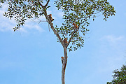 Family of Proboscis Monkeys (Nasalis larvatus) in a tree by Kinabatangan River, Sabah
