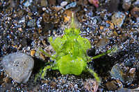 "Arrowhead Crab ""standing up""<br /> <br /> Shot in Indonesia"