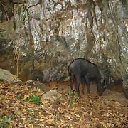 Chinese serow (Capricornis milneedwardsii) photographed with an automated camera on one of Uthai Thani's (Thailand) limestone karts.