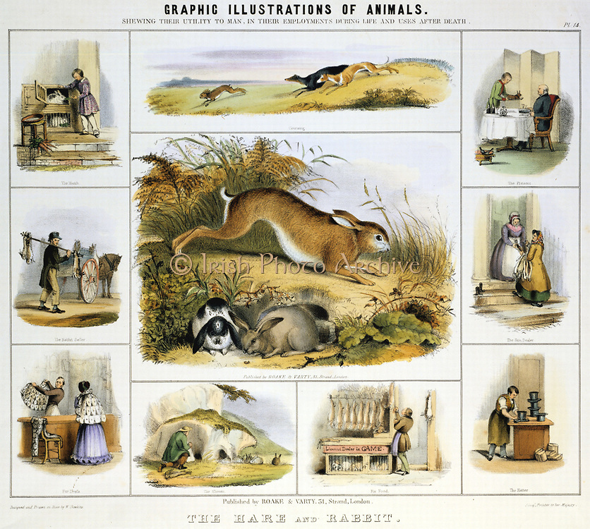 Hare and Rabbit: used for meat; fur; 'beaver hats'; pets and for coursing. Hand-coloured lithograph by Waterhouse Hawkins published London c1850. From 'Graphic Illustrations of Animals and Their Utility to Man'.