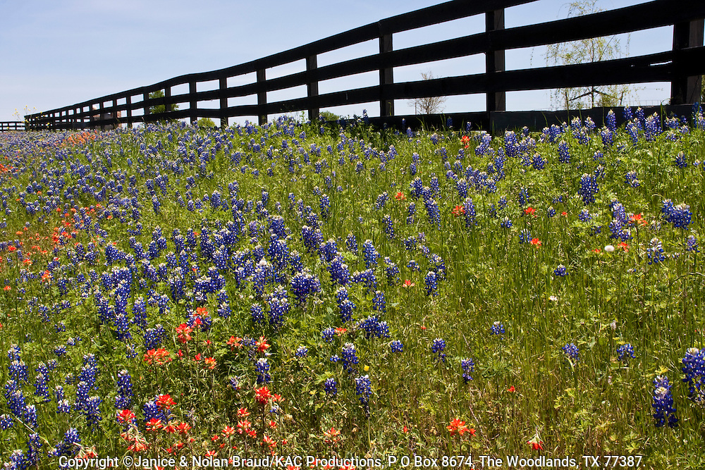 Texas Bluebonnets (Lupinus texensis) and Indian Paintbrush (Castilleja indivisa) wildflowers along farm-to-market roads in Southeast Texas.
