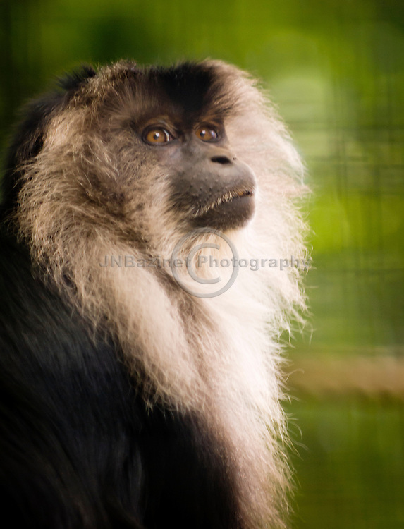 Lion-Tailed Macaque in captivity