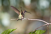 Female Anna's Hummingbird on branch