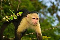 White faced capuchin monkey, Monkey Island, Panama Canal (Gatun Lake), Panama