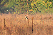 A white-tailed deer buck wanders through a Wexford County field at sunrise.
