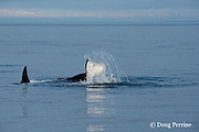 southern resident orca, or killer whale, Orcinus orca, tail-slapping, off southern Vancouver Island, British Columbia, Strait of Juan de Fuca, Canada