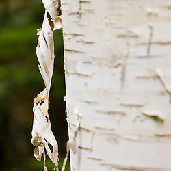 The bark of a paper birch tree at Moose Brook State Park in Gorham, New Hampshire.