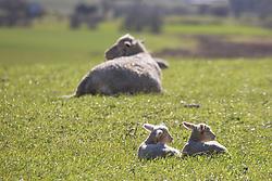 Twin lambs in a paddock near Cressy.