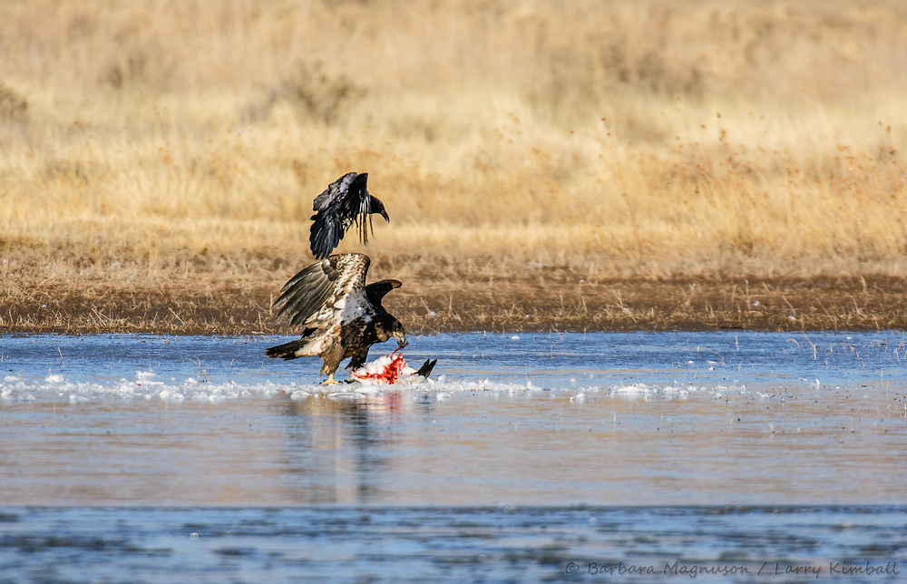 Bald Eagle {Haliaeetus leucocephalus,2nd year} and Chihuahuan Raven {Corvus cryptoleucus}; flying over Snow Goose carcass on small pond in Bosque del Apache National Wildlife Refuge, New Mexico