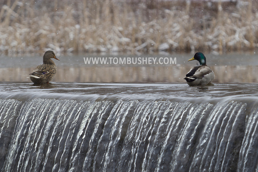 Monroe, New York - A pair of mallards by the waterfall at the end of the Millpond as the snow falls on March 16, 2013. The male mallard (Anas platyrhynchos), with the green head, is on the right.