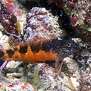 Saddle Blenny inhabit reefs, perch on bottom in Tropical West Atlantic; picture takenDry Tortugas, Florida Keys.