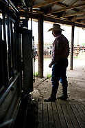 working cattle squeeze chute