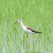 The black-winged stilt, common stilt, or pied stilt (Himantopus himantopus) is a widely distributed very long-legged wader in th