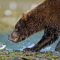 USA, Alaska, Katmai National Park, Coastal Brown Bear (Ursus arctos) chases flopping Pink Salmon onto banks of spawning stream along Kinak Bay
