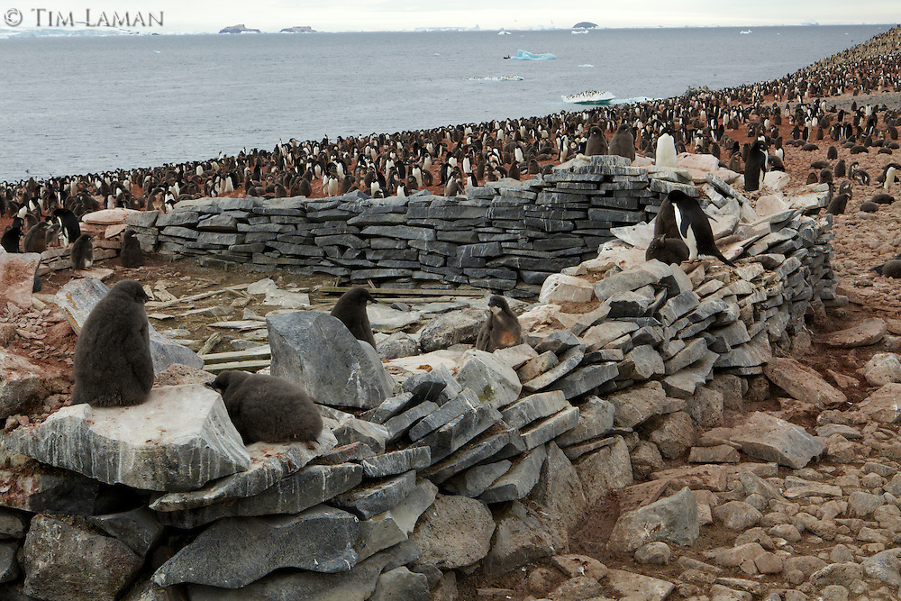 Remains of the survival hut of the Nordenskjold Expedition surrounded by an Adelie Penguin (Pygoscelis adeliae) breeding colony on Paulet Island, Weddell Sea.
