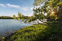 The sun shines through a pin oak tree, Quercus palustris, next to the Oyster River at Emery Farm in Durham, New Hampshire.