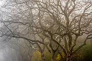 East Hampton, Trees in Fog, Long Island, NY