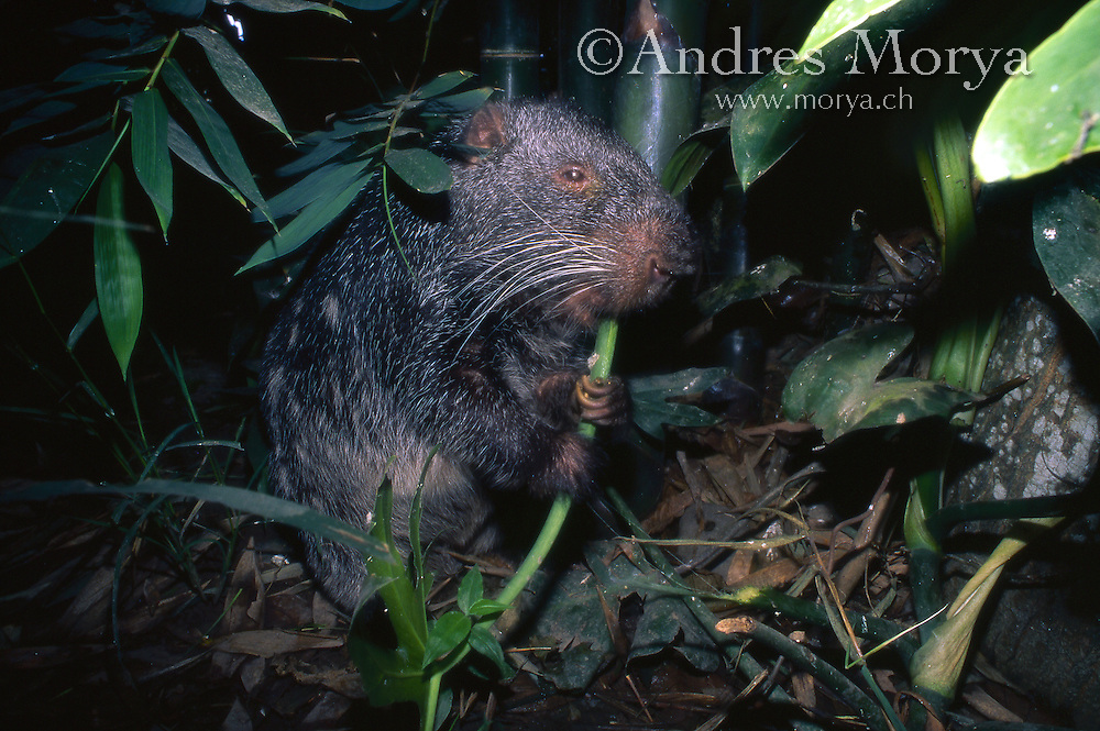 Pacarana (Dinomys branickii), Pucallpa, Peru. Is a rare and slow-moving nocturnal rodent found only in tropical forests of the western Amazon River basin and adjacent foothills of the Andes Mountains from northwestern Venezuela and Colombia to western Bolivia, including the yungas.<br /> The pacarana is the closest living relative of the newly discovered fossil mammal Josephoartigasia monesi, announced as the world's largest known rodent on January 16, 2008. Image by Andres Morya