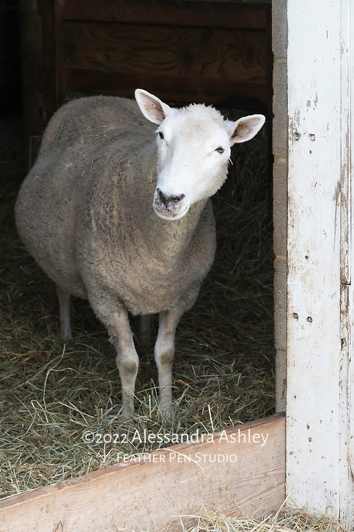 Sheep stands at open barn door while looking outside.