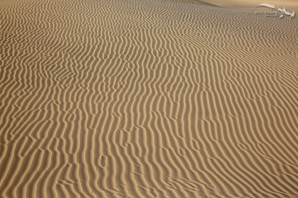 Fox tracks across sand dunes at Mesquite Dunes in Death Valley, California
