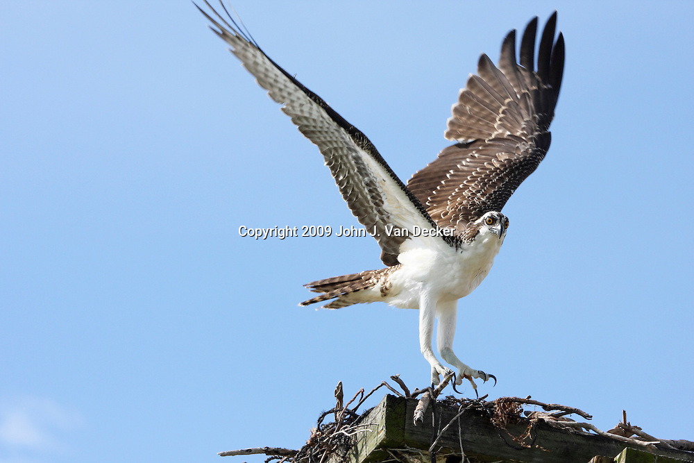 Osprey landing at nesting platform. Fort Myers Beach, Florida