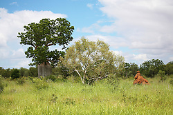 A boab stands in the long grass near a spinifex termite mound in the Kimberley wet season.