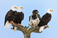 Four Bald Eagles (Haliaeetus leucocephalus) perched on tree awaiting feeding on the shore of Kachemak Bay, Homer Spit, in Homer near Jean Keene's house on the Kenai Peninsula in  Southcentral Alaska. Winter.  Morning.