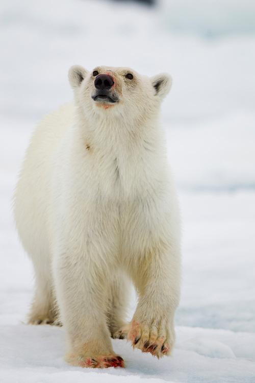 Norway, Svalbard, Nordaustlandet, Polar Bear (Ursus maritimus) walking on ice floe near site of Bearded Seal kill