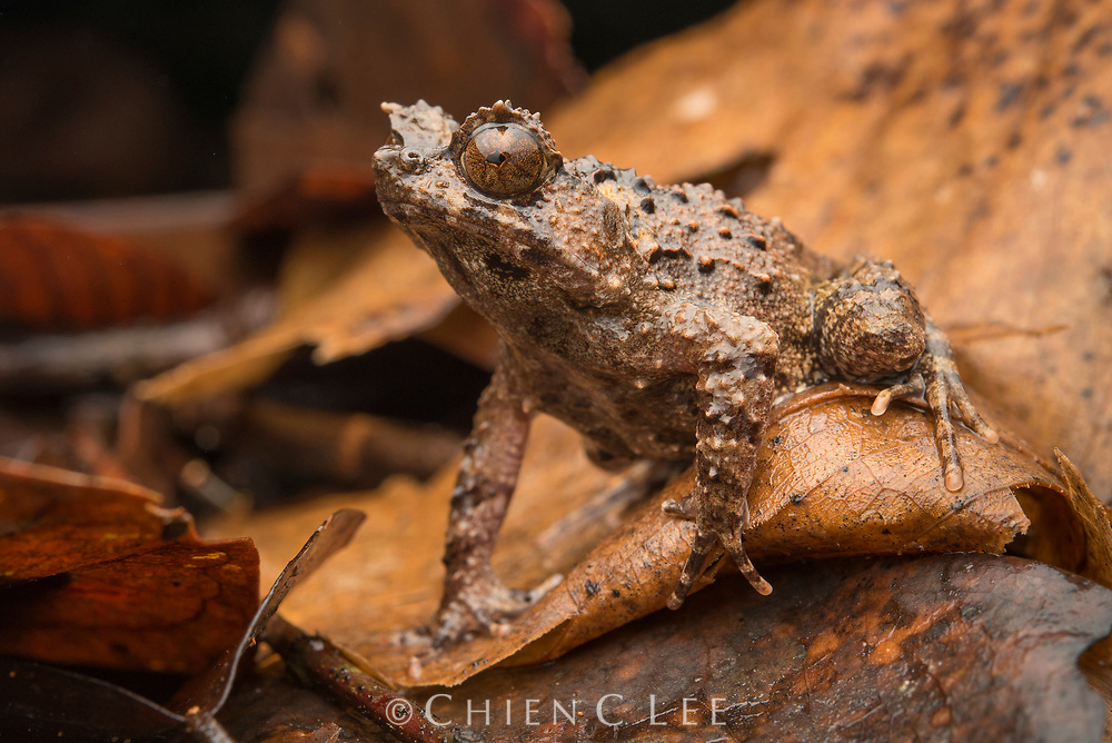 The rare and little known Rough Horned Frog (Borneophrys edwardinae) is endemic to Borneo. Sarawak, Malaysia.