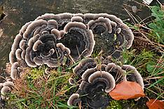 Elfenbankjes en tonderzwammen, Polyporaceae