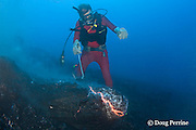 diver Bud Turpin and erupting pillow lava from Kilauea Volcano, Hawaii Island ( the Big Island ), Hawaii, U.S.A. ( Central Pacific Ocean ) MR 381