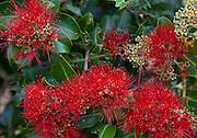 Ohia, Lehua, Limahuli Garden and Preserve, Haena, Kauai, Hawaii