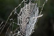 NLD, the Netherlands, spiders web with dew drops.....NLD, Niederlande, Spinnennetz mit Tautropfen.