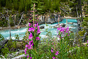 "Fireweed alongside the Vermilion River at Marble Canyon in Kootenay National Park in the Canadian Rockies of British Columbia, Canada. For over 500 million years before tectonic forces thrust up the Rocky Mountains, a shallow tropical sea deposited carbonate sediments that became the limestone and dolomite rock seen in Kootenay's ""Marble Canyon."""