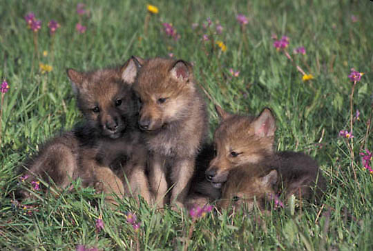 Gray Wolf, (Canis lupus) Pups in spring flowers. Montana. Captive Animal.