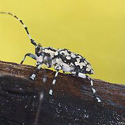 Palimna annulata, longhorn beetle of the tribe Ancylonotini.