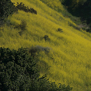 Spring flowers in bloom. Santa Monica Mountains. California USA.