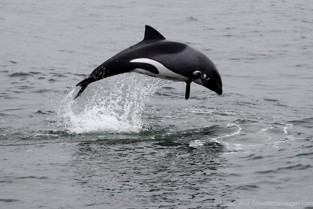 Africa, Namibia, Walvis Bay. The Heaviside's Dolphin, or Haviside's Dolphin, found off the coast of Namibia.