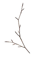 Copper Beech - Fagus sylvatica'Atropunicea' (Purpurea)<br /> winter twig