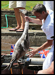Image licensed to i-Images Picture Agency. 14/07/2014. Shepperton, United Kingdom. A Swan Upper pulls a cygnet out of the water  to be weighed and measured during the Swan Upping, the annual census of the swan population on the river Thames .Picture by Stephen Lock / i-Images