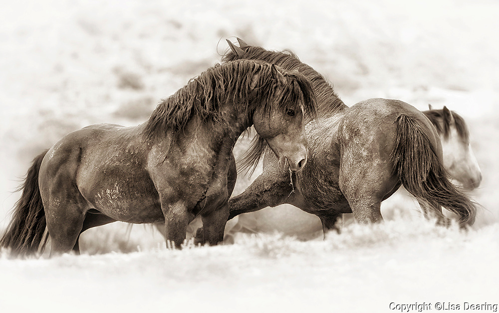 Two McCullough Peaks Wild Mustangs in Wyoming