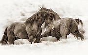 Two McCullough Peaks Wild Mustangs in Wyoming
