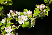 Blossom on apple tree, Malus domestica, as Spring turns to Summer, United Kingdom