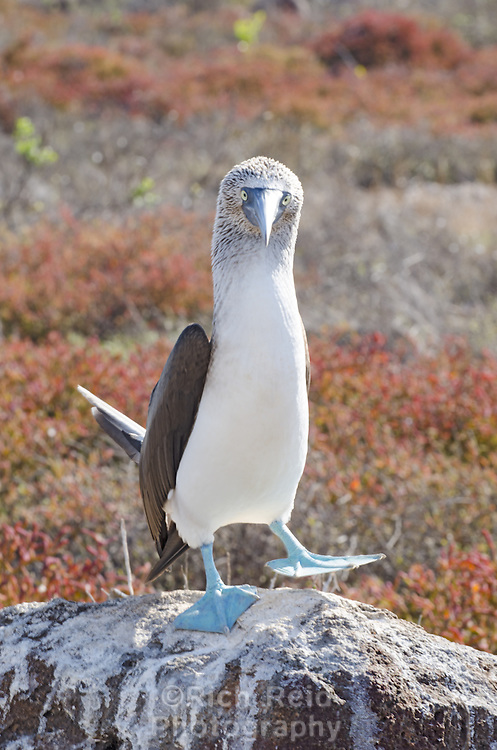 Blue-footed booby, Sula nebouxii excisa dancing on North Seymour Island in the Galapagos Islands National Park and Marine Reserve, Ecuador.