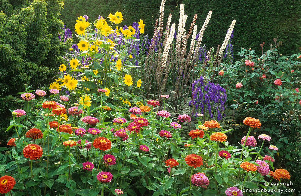 Aconitum 'Kelmscott', Cimicifuga racemosa 'Purpurea', Helianthus 'Capenoch Star'and Zinnia 'Giant Flowered Mix' in the barn garden at Great Dixter in early autumn