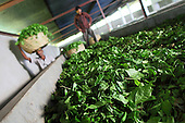 Black tea industry in Bangladesh (tea picking and tea factory)